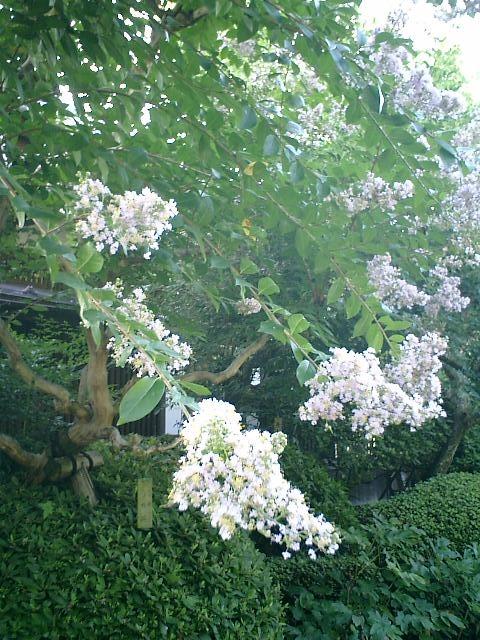 4-03)鎌倉市長谷「長谷寺」紫掛かった白の百日紅。.JPG